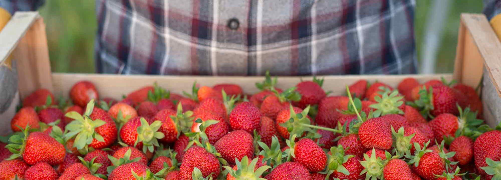 Wye Valley Food Festival Stawberries